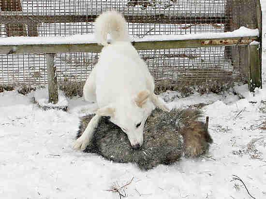 «Спасибо, Валентина Ивановна»: Совфед отклонил жуткий закон об охотничьих собаках