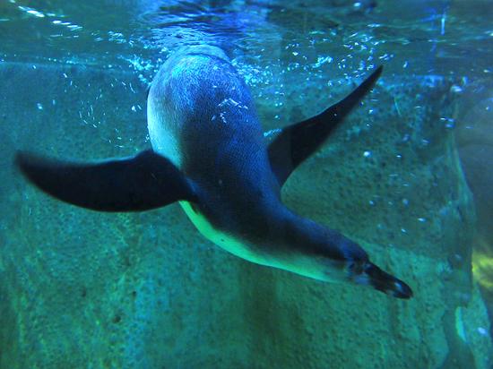 Cотрудники зоопарка рассказали, что новых пингвинов разместили в вип-апартаментах