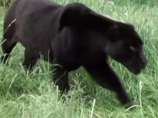 Погибший в лапах пантеры домработник возможно был пьян