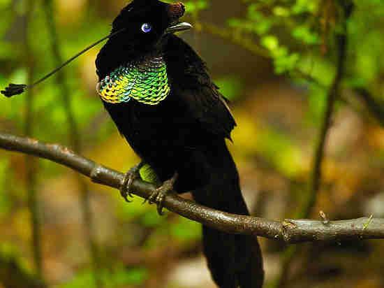 Разгадан секрет райских птиц с невообразимо черными крыльями
