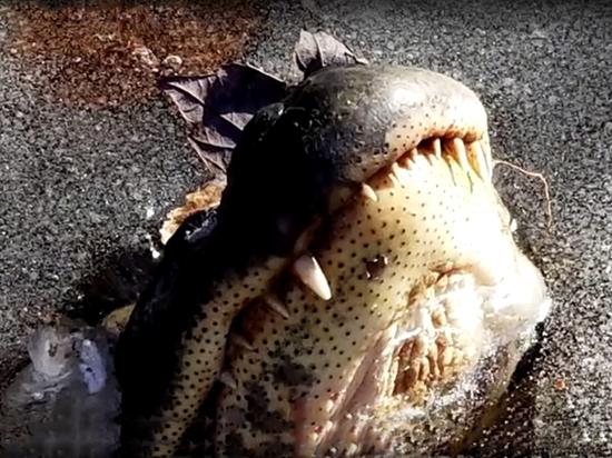 Интернет-пользователей озадачило видео с аллигаторами, живущими в толще льда