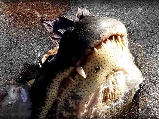 Опубликовано видео с аллигаторами, живущими в толще льда