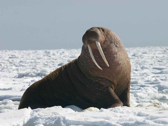 У самок моржей обнаружили неожиданное сходство с человеческими матерями