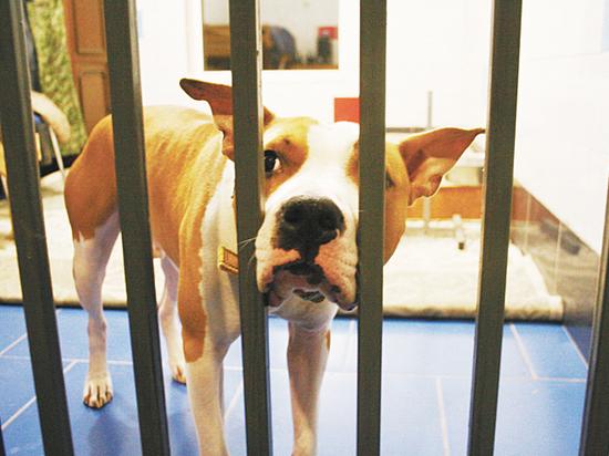 Запирают в ванной, обливают кипятком: истории брошенных «бойцовых» собак