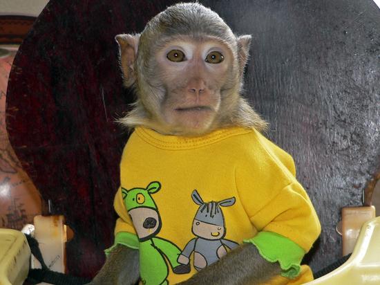 Гражданин столицы похитил укусившую его обезьяну иубил ее