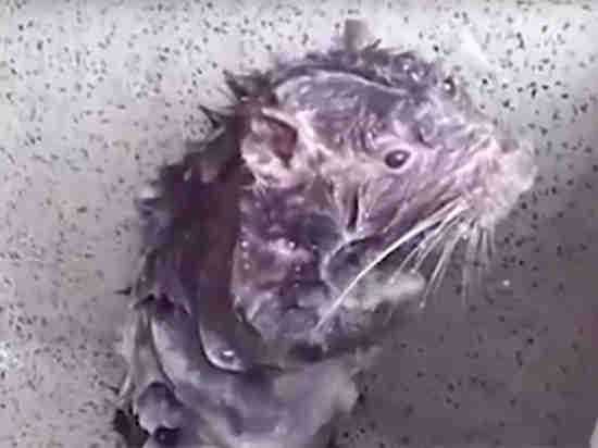 Раскрыт секрет видео моющейся как человек крысы