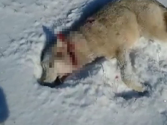 Схватка «восставшего из мертвых» волка с охотником попала на видео