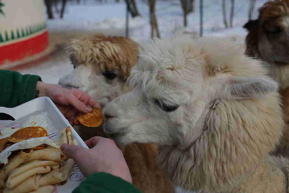 Масленица для животных прошла в нижегородском зоопарке «Лимпопо»