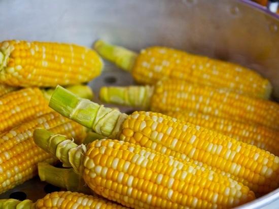 Ученые сообщили о неожиданном влиянии на здоровье ГМО-кукурузы