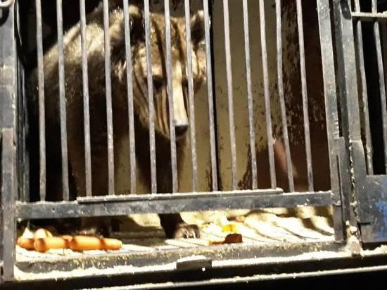 Найденным в Самаре медведям нашли дом в Крыму