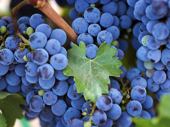 Кубанское виноградарство: вчера, сегодня, завтра