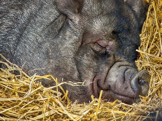 Откуда в Белоруссии столько свинины: эксперт прокомментировал очередной запрет Россельхознадзора