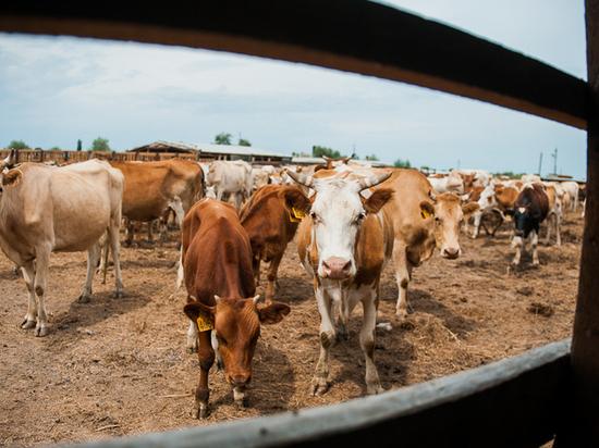 На астраханской границе развернули 40 голов скота, рвущихся в Атырау