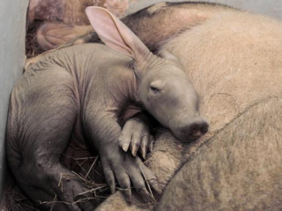Посмотреть на малыша трубкозуба предлагает екатеринбургский зоопарк