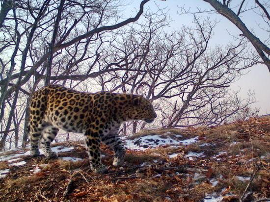 Граждане Приморья выбрали имя леопардессе внацпарке