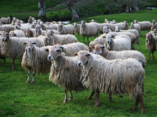 Подмосковный суд установил причастность полуволка к убийству овцы