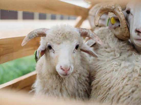 Астрахань готовится к Всероссийской выставке племенных овец и коз
