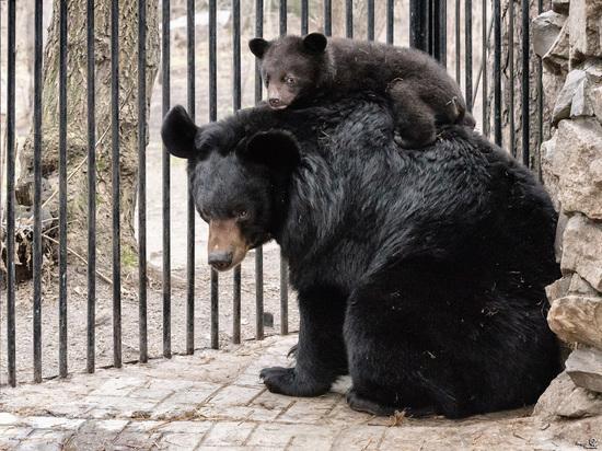 Медведица Челси родила гималайскую тройню вНовосибирске