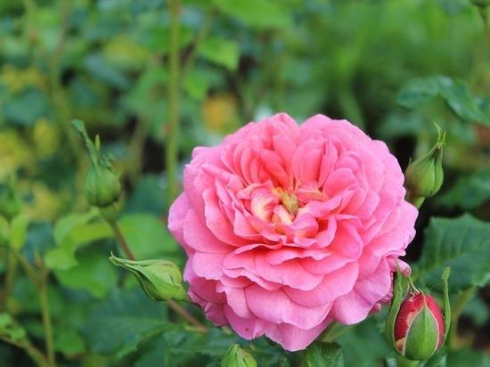 Красивая кража: из лаборатории Тимирязевского университета похитили горшки с розами