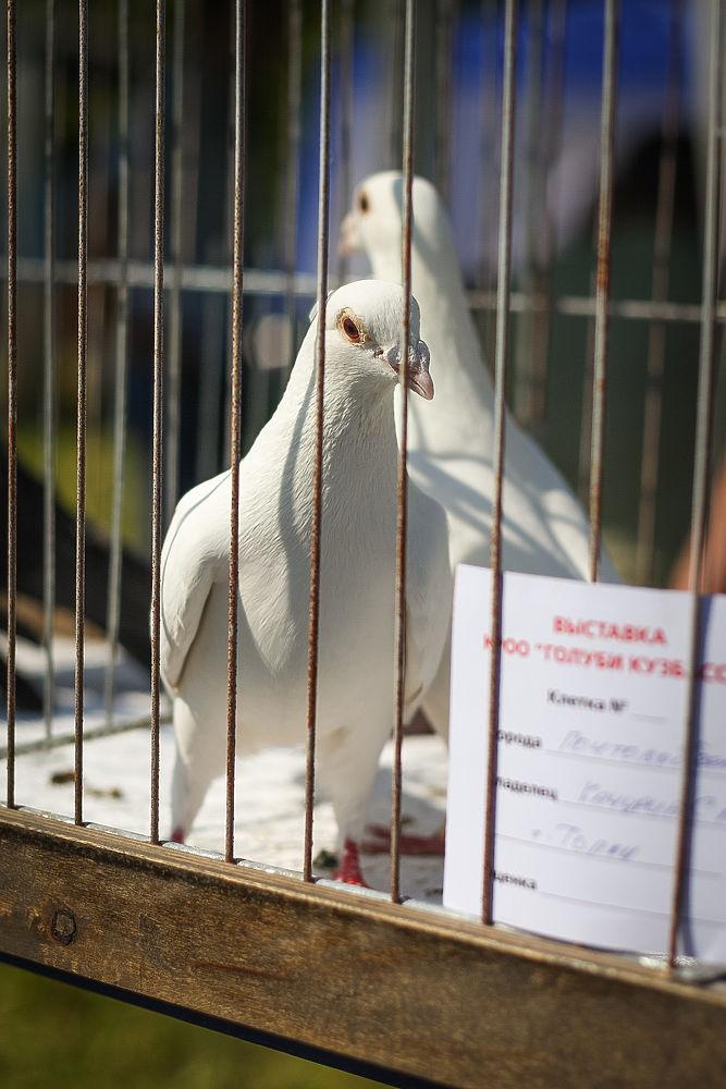 Выставка голубей, с.Зарубино, 27.06.2019г.