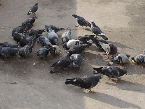 Московских голубей испугало расстояние до олимпийского Сочи