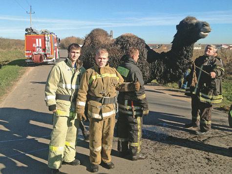 Пожарные рукава заменили спасенному верблюду душ