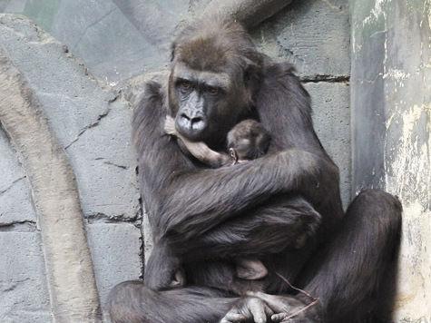 Назови гориллу с «МК»!
