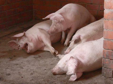Свиньи соседа не угодили мужчине своим количеством