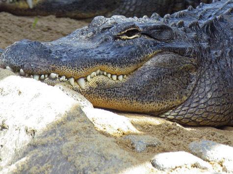 Убитый крокодил отомстил охотнику тропическими клещами