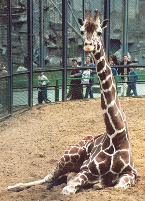 Жирафа Самсона навсегда вытащили из петли