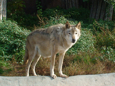 Волк в Тамбовском лесу