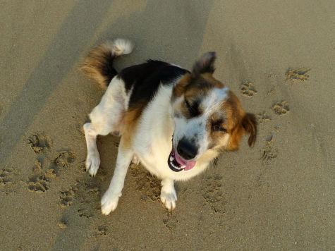 Исследователи смогли расшифровать сигналы собак, машущих хвостом