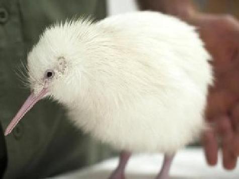 В Новой Зеландии появилась на свет редчайшая белая киви