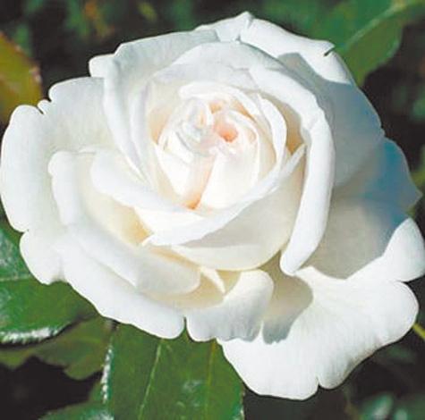 Ломоносов вдохновил ученых на розу, которой не страшны морозы