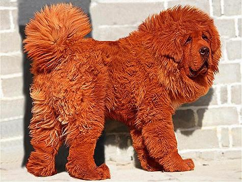 Красный тибетский мастиф получил титул самой дорогой собаки за всю историю, после того, как был продан за рекордные 1