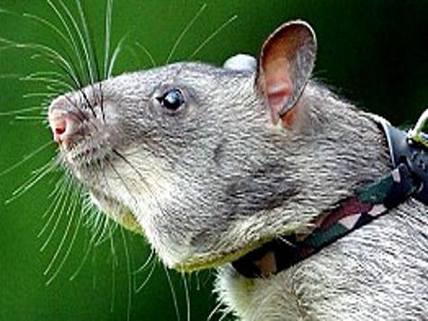 Превосходство млекопитающих над рептилиями определили усы