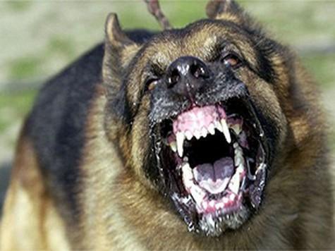 Приступы агрессии у собак могут сигнализировать о боли