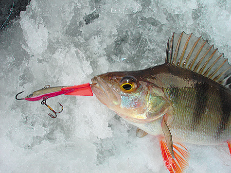 окунь приманка ловля рыбы перволедье