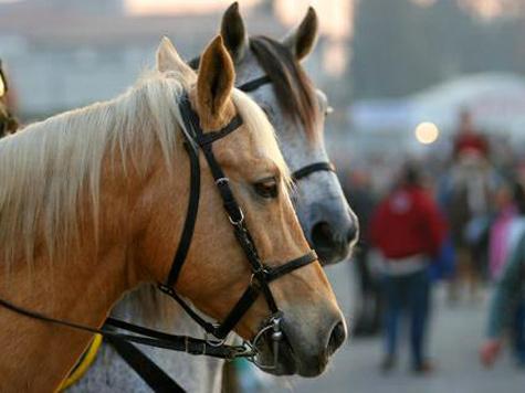 Полицейским коням навешают трензелей