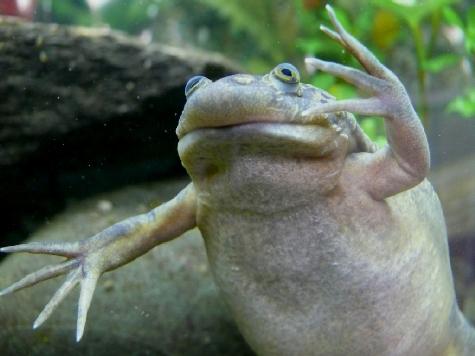 Развивающиеся организмы не имеют генетически запрограммированной формы лица: лягушке его изменили
