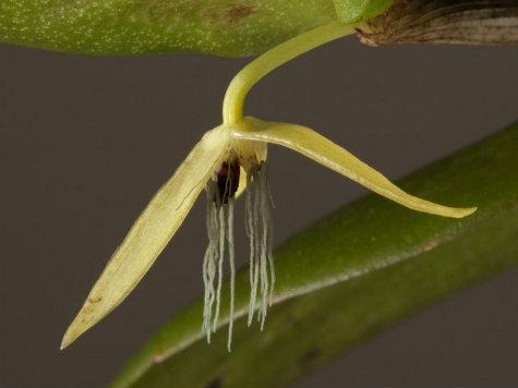 Встречена первая в мире ночная орхидея