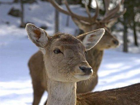 Самки оленя любят менять гаремы