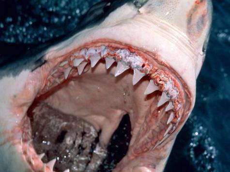 Акулы атакуют купальщиков в приморье