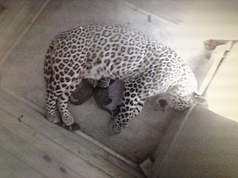 Леопарды Путина дали потомство