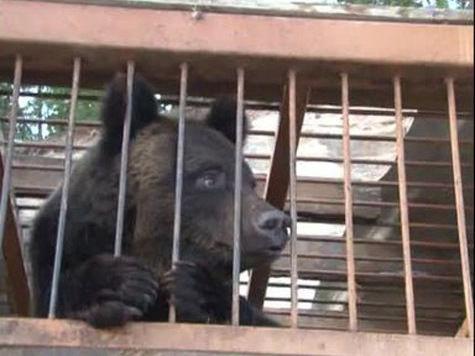 Паводок вывел медведей к хабаровским поселкам: МЧС спасает животных