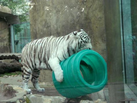 Тигр начинает и выигрывает