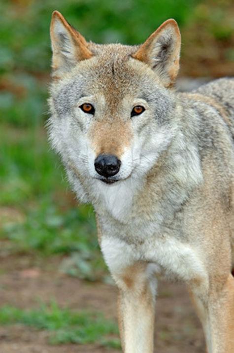 сша убийство заповедник волчица