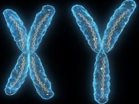 Мужская Y-хромосома элементарно заменяется всего парой генов