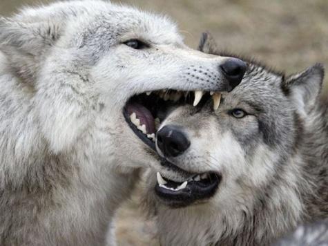 Для спасения планеты не хватает волков
