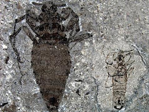 Отпечаток гигантской блохи обнаружили китайские палеонтологи